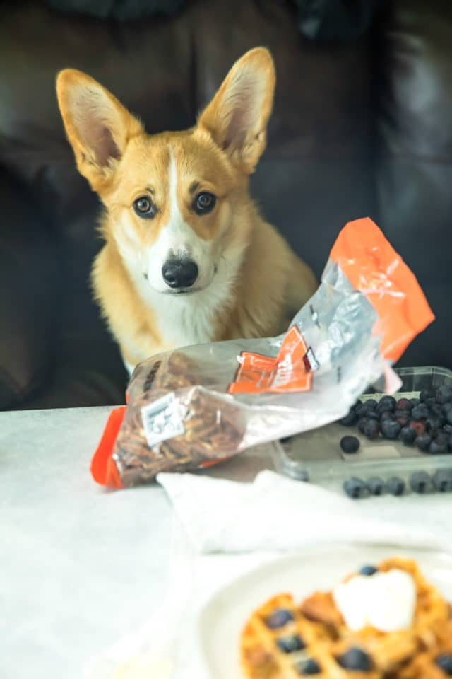 Corgi looking at camera with pecans and blueberries in the shot